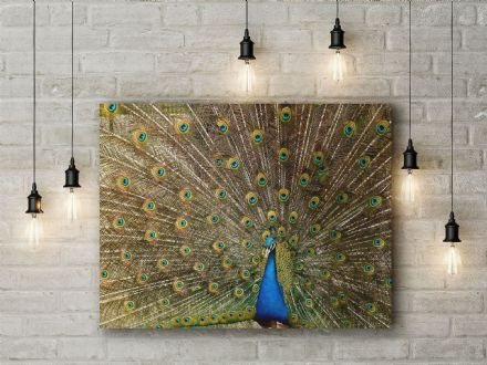 Peacock Plumage. Photographic Canvas.